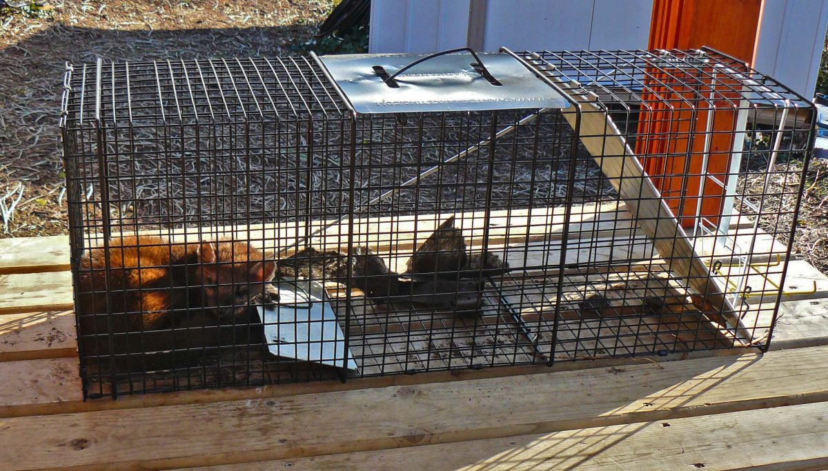Marten Relocation