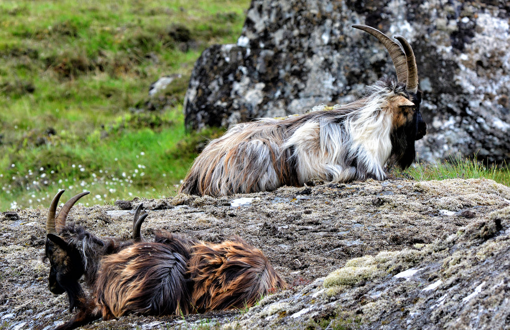British primitive goats (photo credit: Joan Disley)
