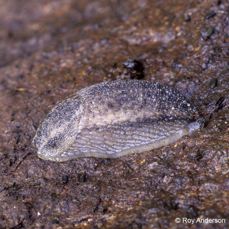 Brown-banded slug