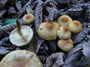 lyophyllum-loricatum-3